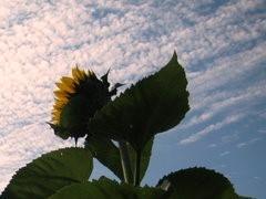 1-0-Sunflower_1